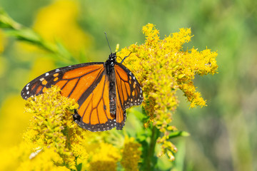 A golden delight for a Monarch Butterfly!