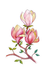 Watercolor drawing of magnolia flowers, branch magnolia
