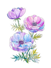 Watercolor drawing of anemone flowers, bouquet