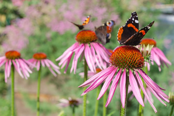 Red admiral and peacock butterfly on a flowers of red color in a garden
