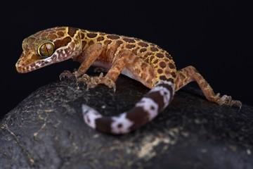 Thai bow-fingered gecko (Cyrtodactylus peguensis) Wall mural
