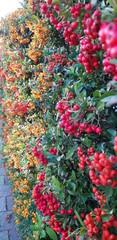 yellow, orange and red berries on firethorn hedge in nieuwerkerk aan den ijssel