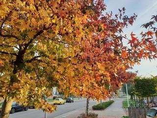 Liquidambar styraciflua in autumn colors in nieuwerkerk aan den ijssel
