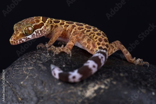 Wall mural Thai bow-fingered gecko (Cyrtodactylus peguensis)
