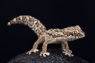 Wall Mural - Spotted Thick-toed Gecko (Pachydactylus maculatus)