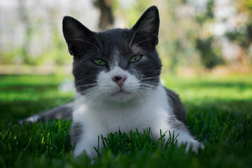 Elegant cat looking and lying on the grass