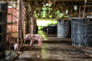 new born pig in hog farms, animal and Pig industry Wall mural