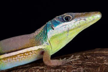 baby or adult female green anole | Coventry, West Midlands ... |Adult Anole Hendersons