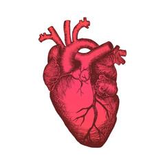 Anatomical human heart - color sketch isolated on white background. Hand drawn sketch in vintage engraving style. Vector illustration.