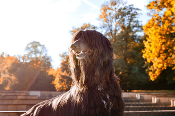 Garden Poster Salmon Beautiful dog breed Afghan hound at sunset in the park.
