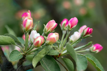 Blooming apple tree in spring time. close-up view , nature background with selective focus