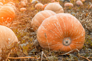 Large pumpkins that lie in the autumn field, close-up, squash, solar