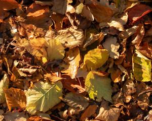 Waldboden mit Herbstlaub im morgendlichen Sonnenlicht. Standort: Deutschland