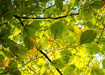 Blätter am Ast im morgendlichen Sonnenlicht. Standort: Deutschland