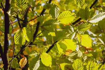 Astgabel mit Blättern im Herbstlichen Sonnenlicht. Standort: Deutschland