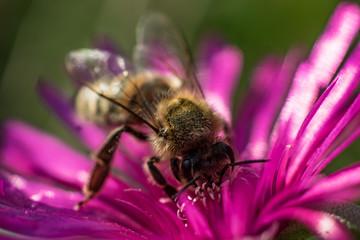 Makroaufnahme einer Biene auf einer Mittagsblume  (delosperma)
