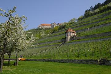 Herzoglicher Weinberg unterhalb von Schloss Neuenburg bei Freyburg, Burgenlandkreis, Sachsen-Anhalt, Deutschland.....