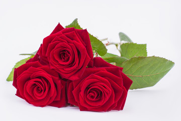 Three red roses on white background. Fresh bouquet of roses close up. Beauty of bloom.