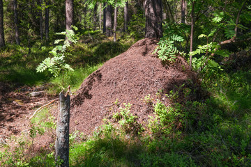 Big anthill in the forest
