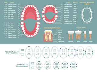 Tooth anatomy chart. Orthodontist human teeth loss diagram, dental scheme and orthodontics medical vector infographic