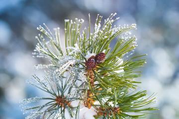 Creeping cedar in winter