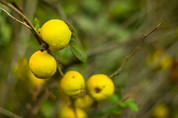 Quince fruit on the mole. Shrub with yellow quince fruits.