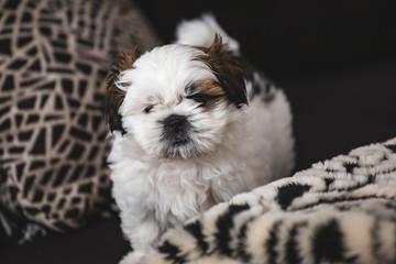 Small pure breed Shi Tzu