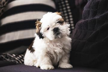 Small pure breed Shi Tzu funny puppy