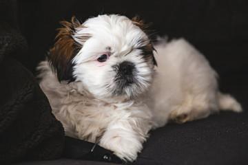 Small pure breed Shi Tzu pet