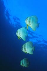 Spadefish batfish fish