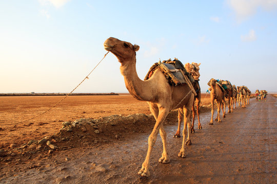 Caravan of camels walking across Danakil Depression at sunrise to get the salt and bring it back to the towns for sale