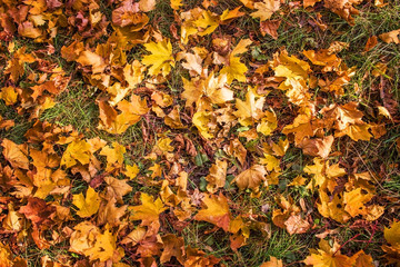 Yellow leaves in the green grass in autumn