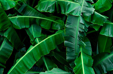 Banana green leaves texture background. Banana leaf in tropical forest. Green leaves with beautiful pattern in tropical jungle. Natural plant in tropic garden. Nature background. Foliage abstract.