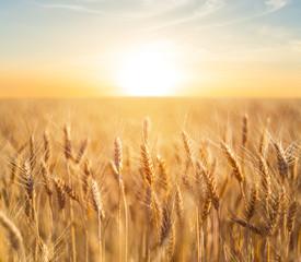 Garden Poster Culture closeup summer wheat field at the sunset