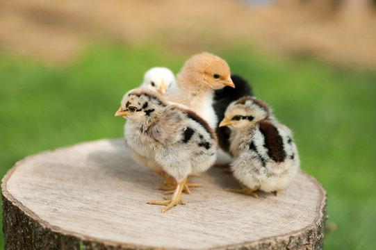 Baby chicks are standing on the log on nature background