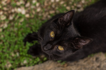 animal portrait black street cat looking at camera with foreshortening from above