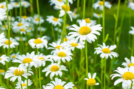 Beautiful blooming marguerite on a green meadow at sunrise. Daisies in green grass in the park. Colorful spring meadow flowers lit by the sun.