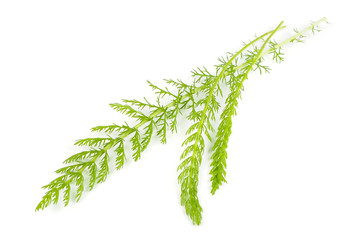Yarrow (Achillea) Leaves Isolated on White Background