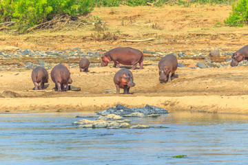 Group of Cape hippopotamus or South African hippopotamus at Olifants River in Kruger National Park, South Africa.