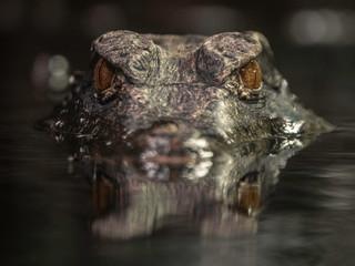 Foto auf Gartenposter Crocodile Cuvier's dwarf caiman