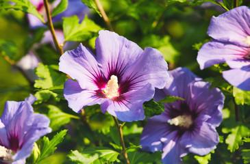 Purple flowers in the garden, summertime outdoor background