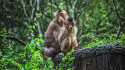 Two Long Tailed Macaques sitting on a wall in an overgrown jungle, North Sumatra