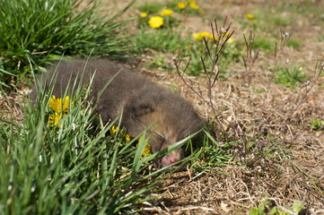 Baby fisher cat animal asleep on lawn with yellow flowers