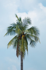 one tropical coconut tree and blue sky and white cloudy