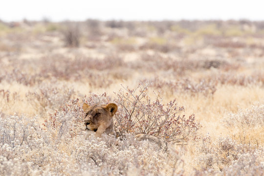 female lion in namibia