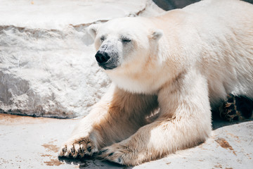 lazy polar bear resting at zoo