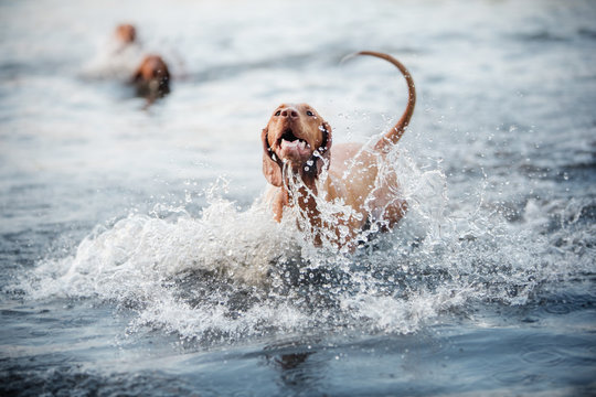 Beautiful dog Vizsla shakes off in the water