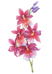 The branch of blossoming tropical pink flower orchid Aliceara (Beallara). Close up hybrid orchid. Hand drawn watercolor painting illustration isolated on a white background.