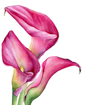Bouquet of pink calla lily Zantedeschia rehmannii flower. Watercolor hand drawn painting illustration isolated on a white background.