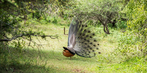 Male indian peacock showing its beautiful feathers. Yala national park, Sri Lanka.